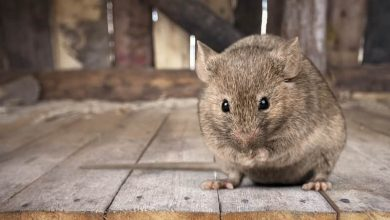Photo of Things To Consider When You Have Rodents In Your Home