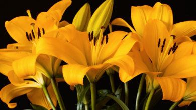 Photo of What Are the Different Type of Lilies